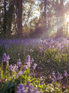 Spring in the Bluebell Woods